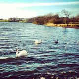 Irland-Seenatur des Schwans blackswan stockbilder