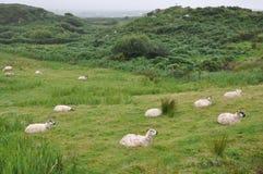 Irland Sheeps arkivbilder