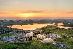 Irland-Sonnenuntergang mit Schafen stockfotografie