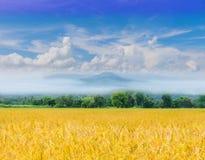 Irlandczyków ryż pole z pięknym niebem i clo obrazy royalty free