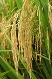irlandczyków ryż Obraz Royalty Free
