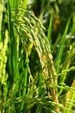 irlandczyków ryż Fotografia Stock