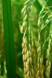 irlandczyków ryż Zdjęcie Stock