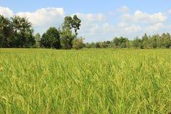 Irlandczyków ryż pole Fotografia Stock
