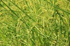 Irlandczyków ryż pole Zdjęcia Royalty Free