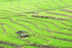 Irlandczyków ryż w polu Zdjęcia Royalty Free