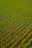 Irlandczyków ryż w zielonej ziemi uprawnej Fotografia Stock