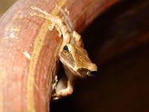 Irlandczyk żaba Obrazy Royalty Free