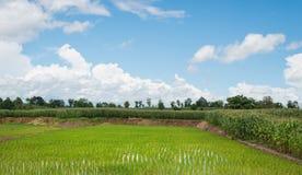 Irlandczyk kultywaci Zielony ryżowy pole, kukurudza, mieszająca Fotografia Stock