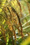 Irlandczyk Rice Obraz Stock