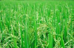 Irlandczyk Rice Obraz Royalty Free