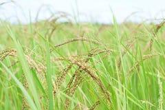 Irlandczyk Rice, Tajlandia Obraz Stock