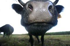 Irlandczyka Dexter buziak Fotografia Stock