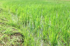 Irlandczyka pole lub ryżu pole Zdjęcie Royalty Free