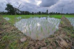 Irlandczyka pole w Pahang, Malaysia Zdjęcia Stock