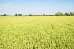 Irlandczyka Rice pole Obraz Royalty Free