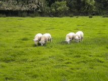 Irlandzcy cakle - okręg administracyjny Wicklow Irlandia fotografia stock