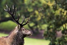 Irlandzki Czerwonego rogacza jeleń zdjęcia royalty free