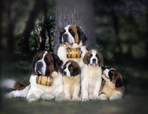 Irlandzki legart (odpoczynek po tropić) zdjęcia royalty free