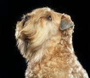 Irlandzki miękki pokryty wheaten teriera pies na Odosobnionym Czarnym tle obraz stock