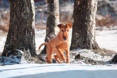Irlandzki Terrier bawić się wśród drzew w zimie Zdjęcia Royalty Free