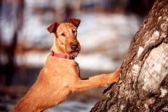 Irlandzki Terrier stawia jego frontowe łapy na drzewnym bagażniku Fotografia Stock