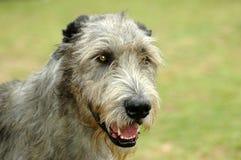 irlandzki wolfhound Zdjęcia Royalty Free