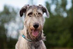 Irlandzki wolfhound Zdjęcia Stock