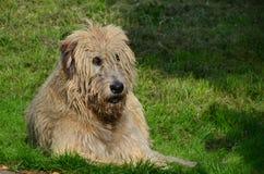 irlandzki wolfhound Obrazy Royalty Free