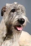 Irlandzki Wolfhound na popielatym zdjęcia stock