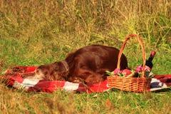 Irlandzkiego legartu chybienie i lying on the beach Zdjęcie Stock