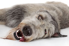 Irlandzkiego Wolfhound pies Zdjęcia Stock