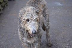 Irlandzkiego Wolfhound pies z Scruff fotografia stock