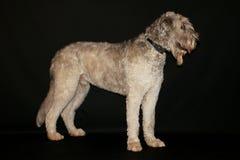 Irlandzkiego wolfhound portret w studiu obrazy stock