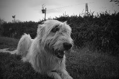 Irlandzkiego Wolfhound psa obsiadanie w ogródzie Zdjęcie Stock