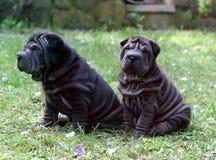 Irmão do sharpei de dois filhotes de cachorro foto de stock