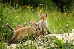 Irmãos bonitos da raposa a toca Imagens de Stock Royalty Free
