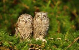 Irmãos da coruja de scops do Otus Imagens de Stock