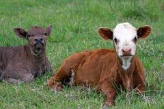 Irmãos da vitela Imagens de Stock Royalty Free