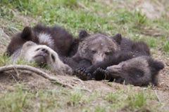 Irmãos do pacote do urso que dormem junto fotografia de stock royalty free