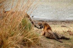 Irmãos do tigre em uma luz bonita no habitat da natureza do parque nacional de Ranthambhore imagem de stock