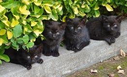 Irmãos pequenos dos gatos pretos Imagem de Stock