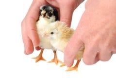 Irmãs da galinha Imagens de Stock Royalty Free