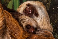 Hoffmann`s Two-toed Sloth with baby. Choloepus hoffmannii. Irmeli, an old german name meaning the Little strong one. Named that because her twin brothers were Royalty Free Stock Photo