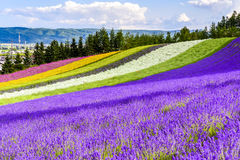 Irodori领域, Tomita农场, Furano,日本 库存照片