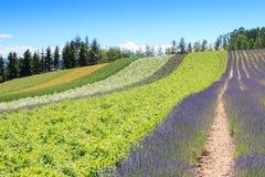 Irodori field of Tomita farm in Furano, Japan, Hokkaido Royalty Free Stock Photo