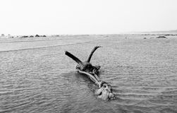 An iron anchor held to the sands at Gorai Beach. In black and white Stock Photos
