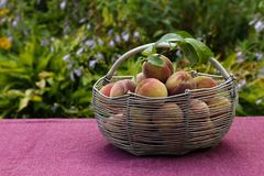 Iron basket with peaches on the table in the garden. An iron basket with peaches is on the table in the garden. Harvest of peaches in a basket stock photography