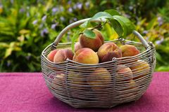 Iron basket with peaches on the table in the garden. Harvesting of peaches in a basket stock photos