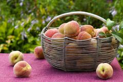 Iron basket with peaches on the table in the garden. Some of the peaches are on the table royalty free stock photography